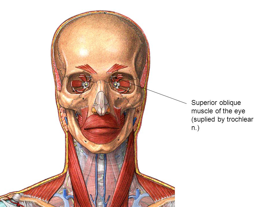 Superior oblique muscle of the eye (suplied by trochlear n.)