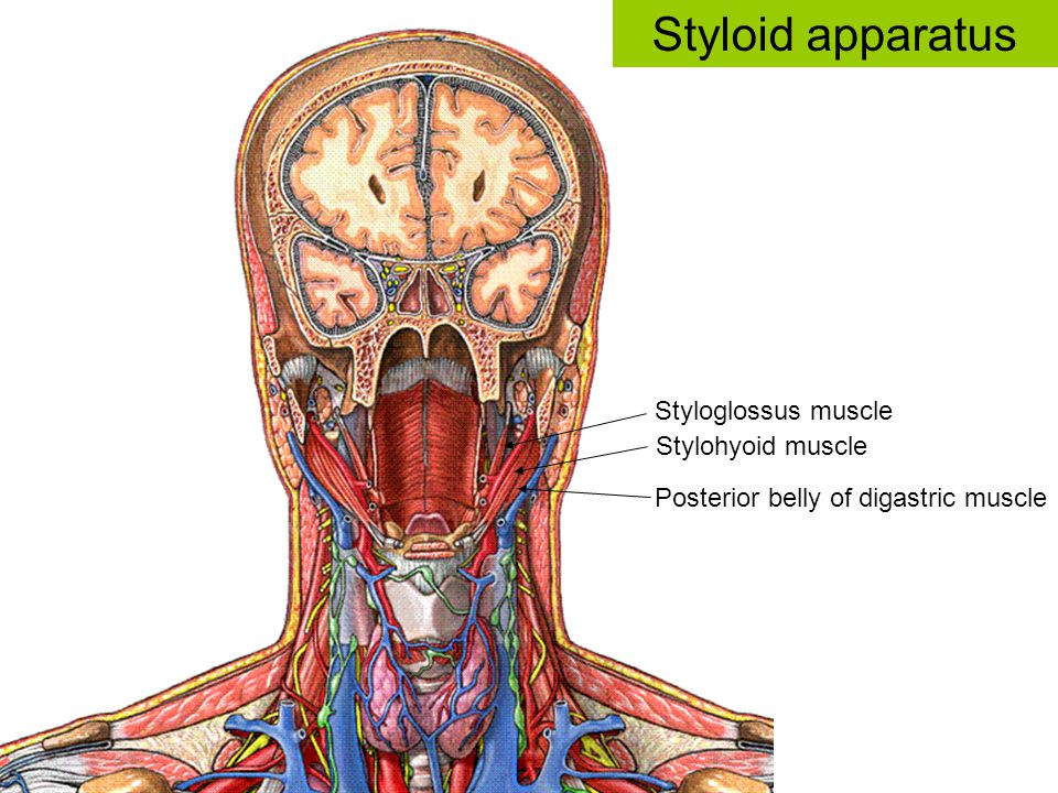 Styloid apparatus Styloglossus muscle Stylohyoid muscle