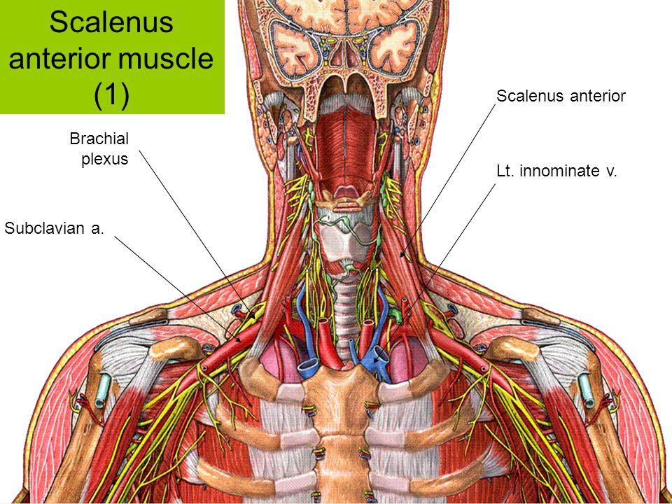 Scalenus anterior muscle (1)
