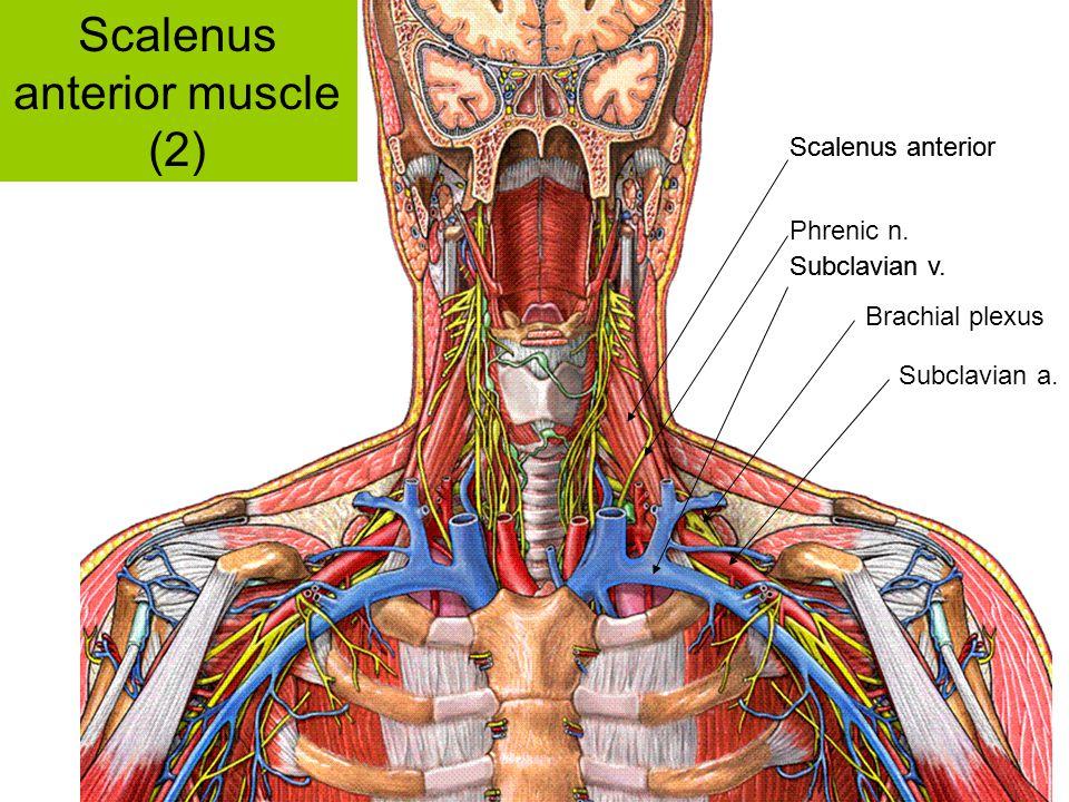Scalenus anterior muscle (2)