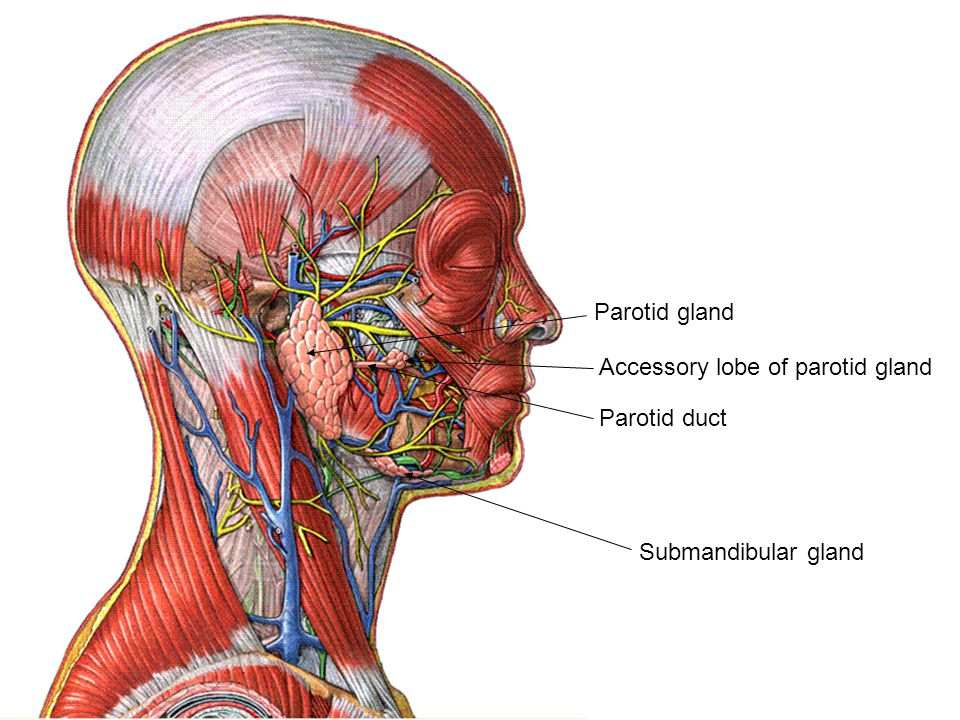 Parotid gland Accessory lobe of parotid gland Parotid duct Submandibular gland
