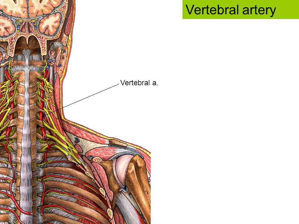 Vertebral artery Vertebral a.
