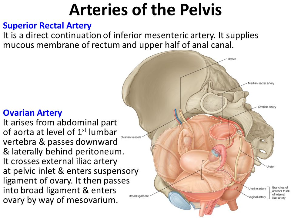 Arteries of the Pelvis
