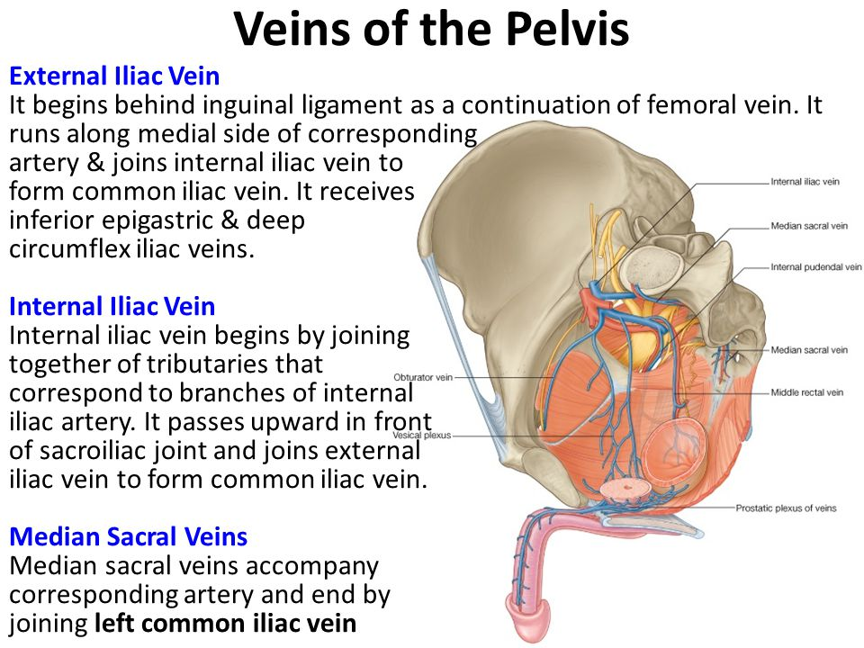 Veins of the Pelvis