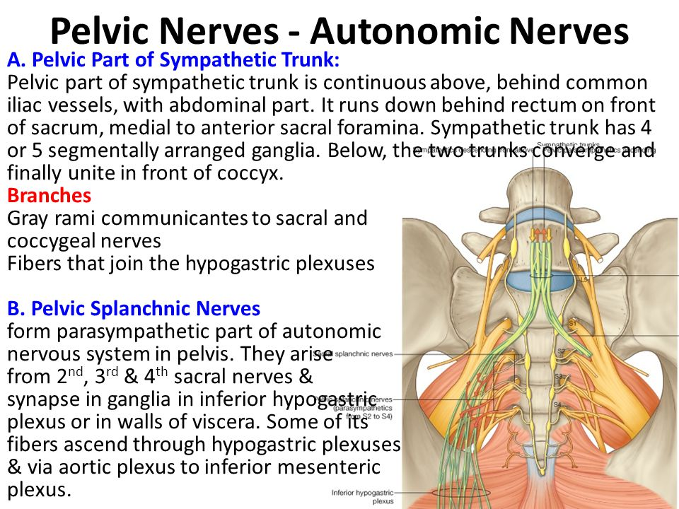 Pelvic Nerves - Autonomic Nerves