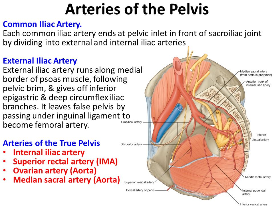 Arteries of the Pelvis Common Iliac Artery.
