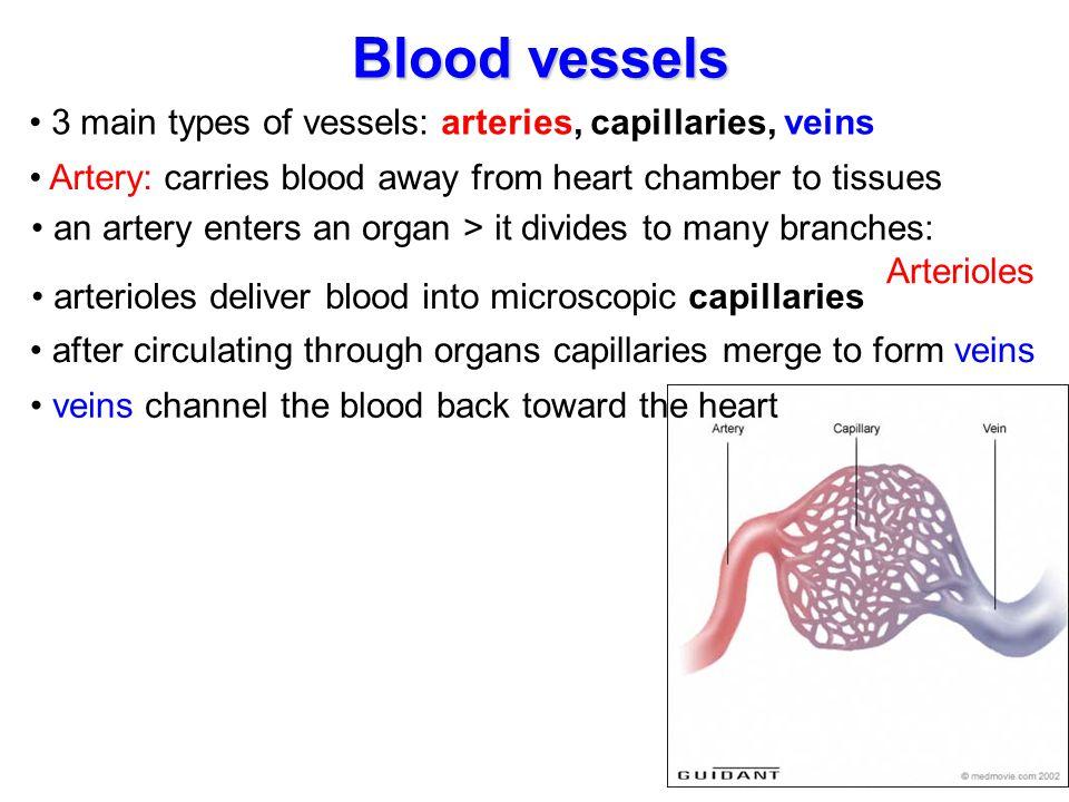 Blood vessels 3 main types of vessels: arteries, capillaries, veins
