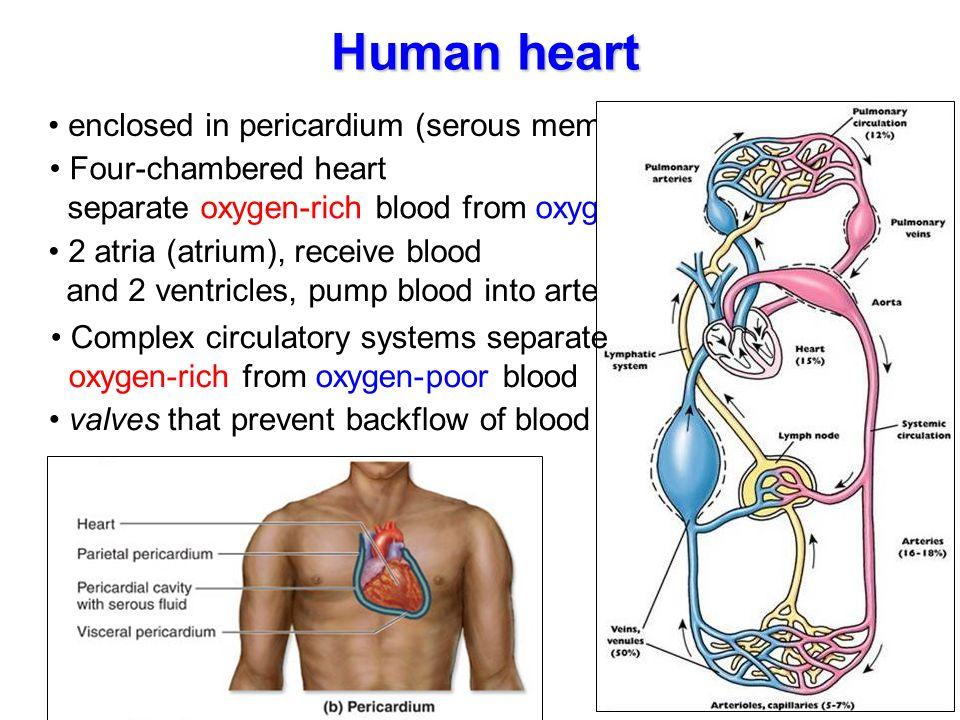 Human heart enclosed in pericardium (serous membrane)