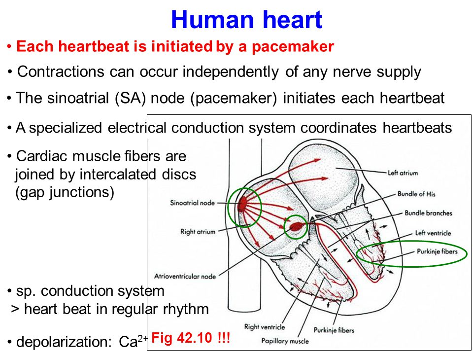 Human heart Each heartbeat is initiated by a pacemaker