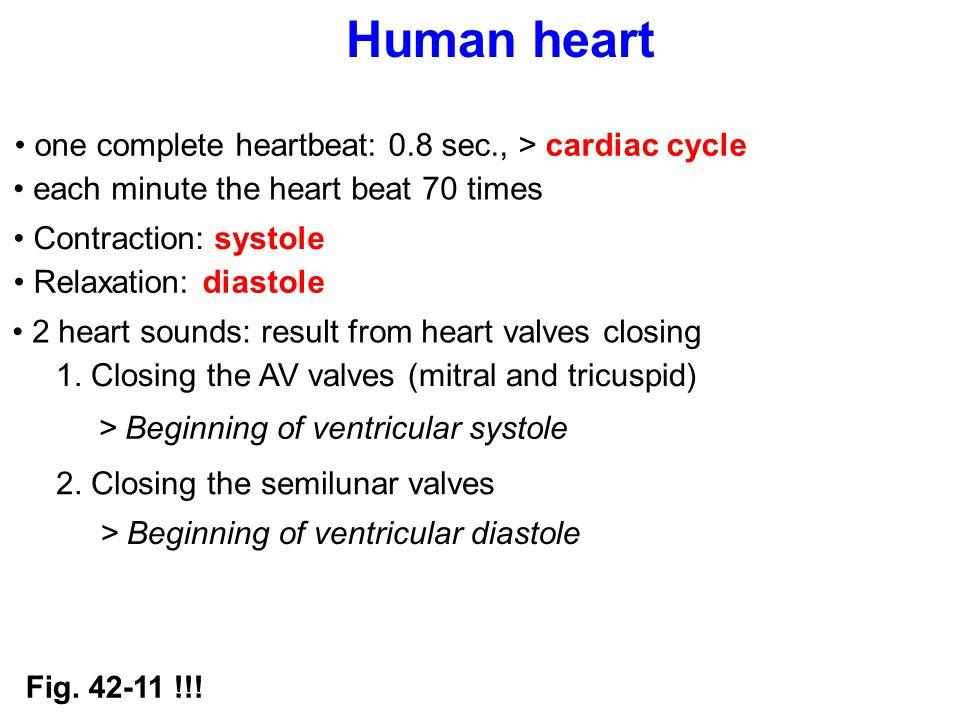 Human heart one complete heartbeat: 0.8 sec., > cardiac cycle