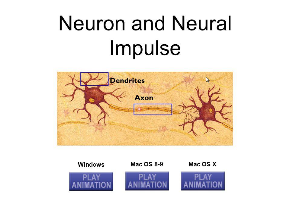 Neuron and Neural Impulse