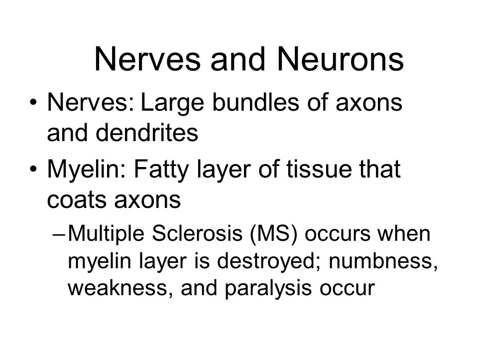 Nerves and Neurons Nerves: Large bundles of axons and dendrites