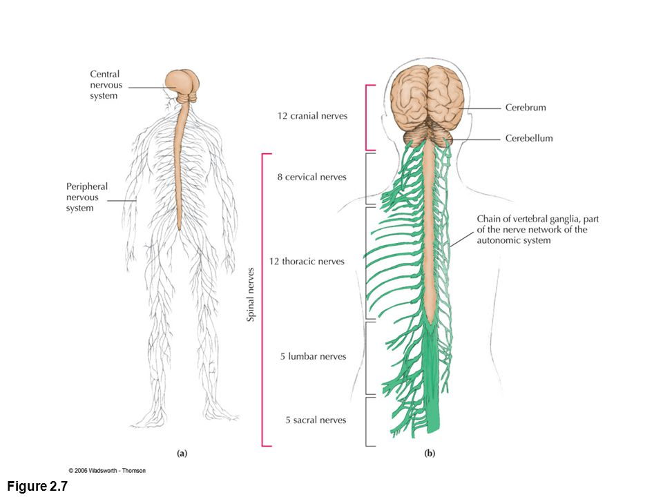 Figure 2. 7 (a) Central and peripheral nervous systems