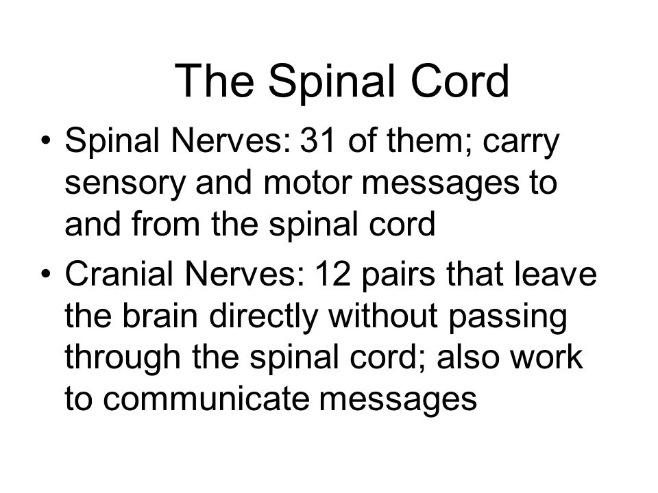 The Spinal Cord Spinal Nerves: 31 of them; carry sensory and motor messages to and from the spinal cord.