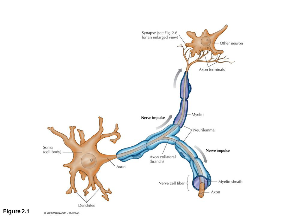 Figure 2. 1 A neuron, or nerve cell