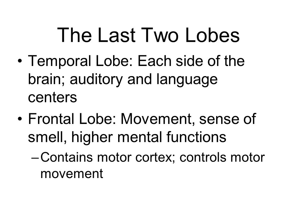 The Last Two Lobes Temporal Lobe: Each side of the brain; auditory and language centers.