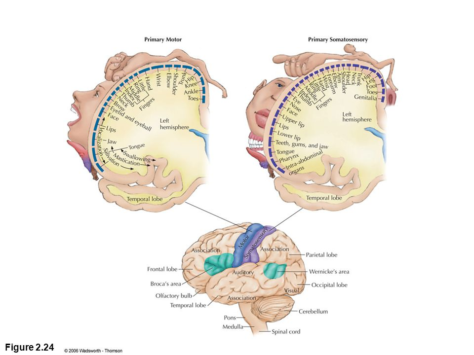Figure 2.24 The lobes of the cerebral cortex and the primary sensory, motor, and association areas on each. The top diagrams show (in cross section) the relative amounts of cortex assigned to the sensory and motor control of various parts of the body. (Each cross section, or slice, of the cortex has been turned 90 degrees so that you see it as it would appear from the back of the brain.)