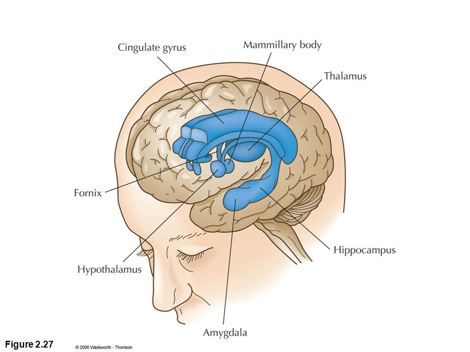 Figure 2. 27 Parts of the limbic system