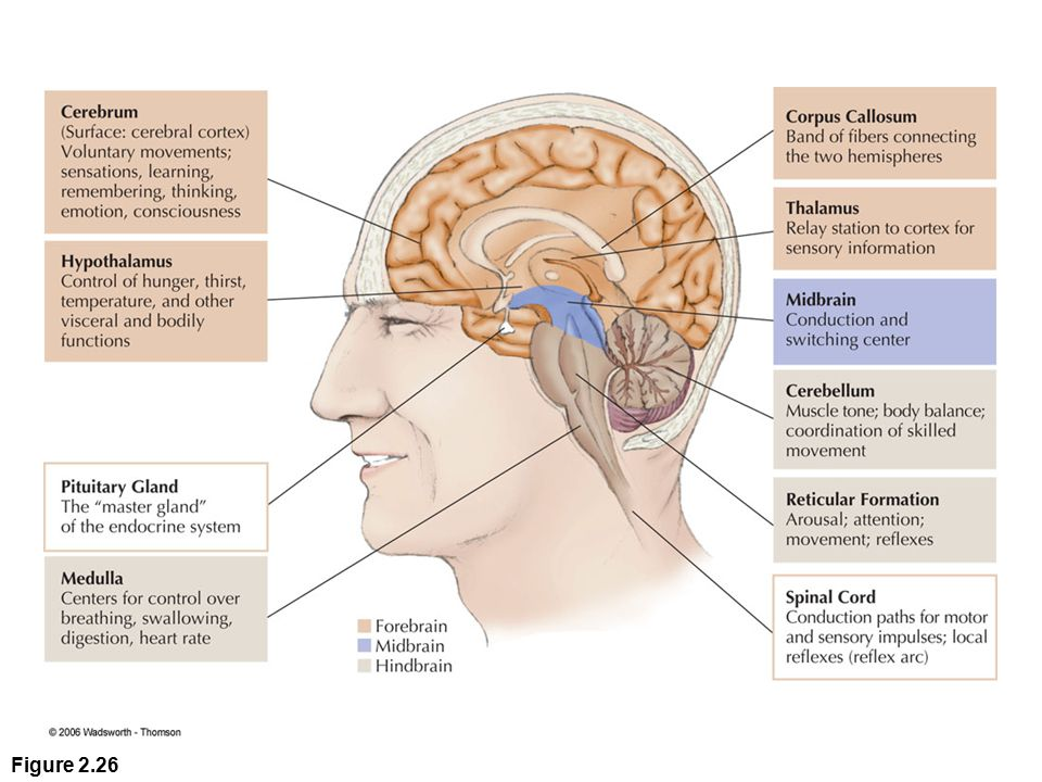 Figure 2.26 This simplified drawing shows the main structures of the human brain and describes some of their most important features. (You can use the color code in the foreground to identify which areas are part of the forebrain, midbrain, and hindbrain.)