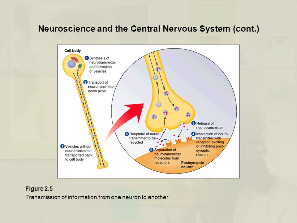 Neuroscience and the Central Nervous System (cont.)