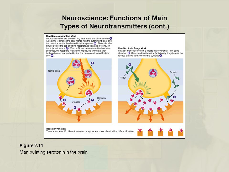 Neuroscience: Functions of Main Types of Neurotransmitters (cont.)