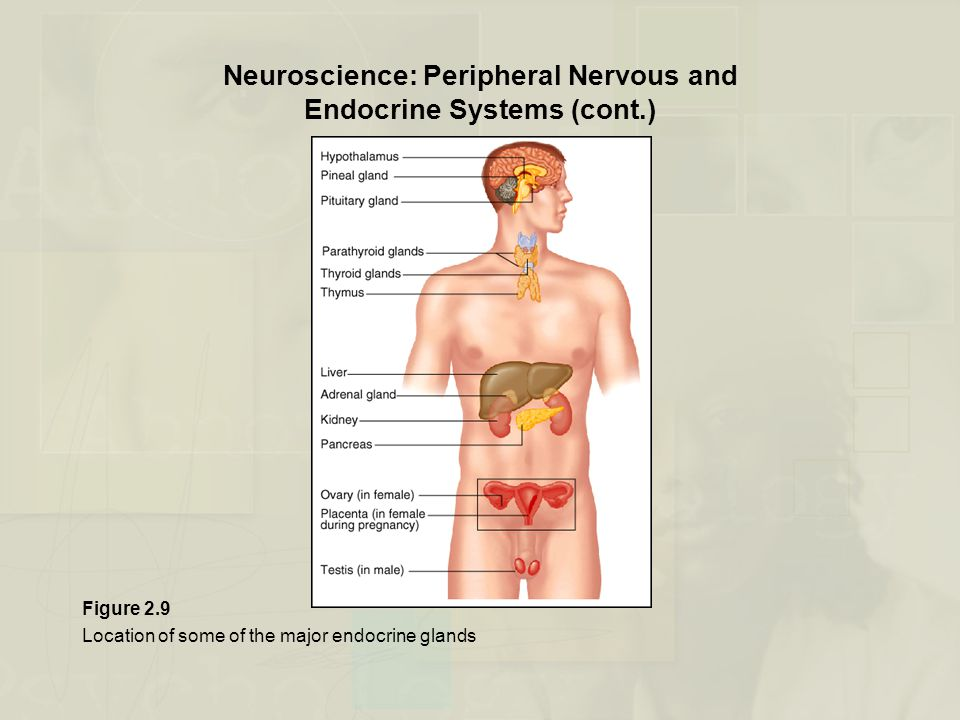 Neuroscience: Peripheral Nervous and Endocrine Systems (cont.)