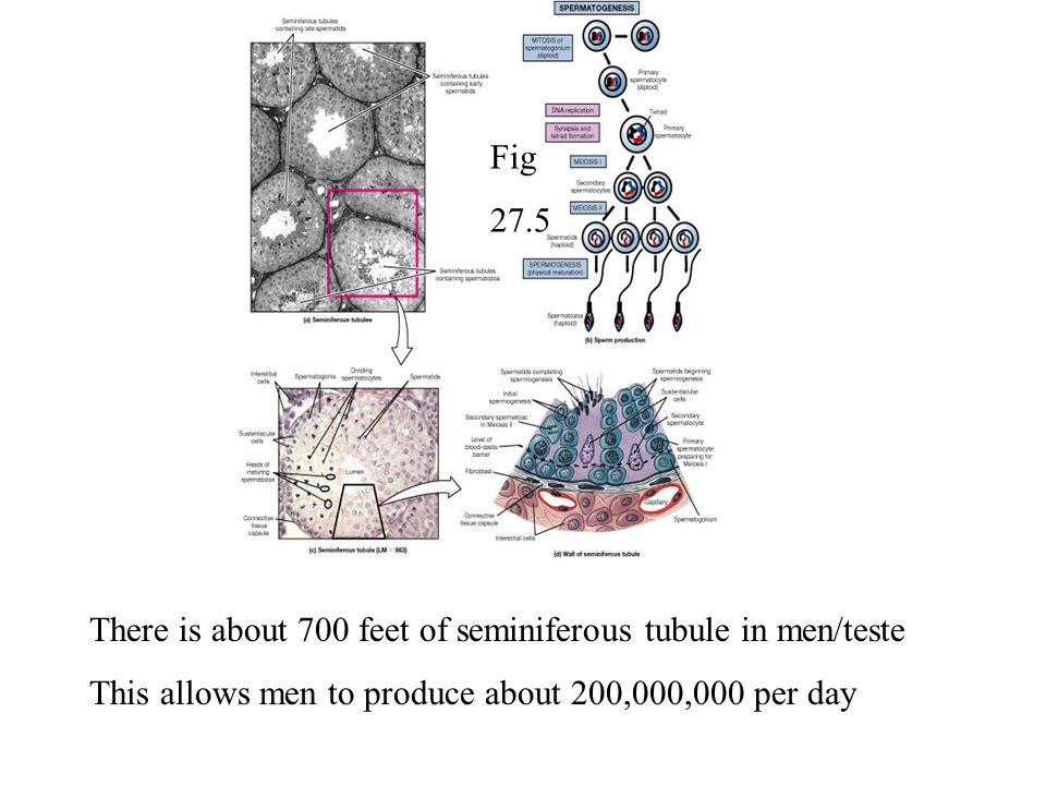 Fig 27.5. There is about 700 feet of seminiferous tubule in men/teste.