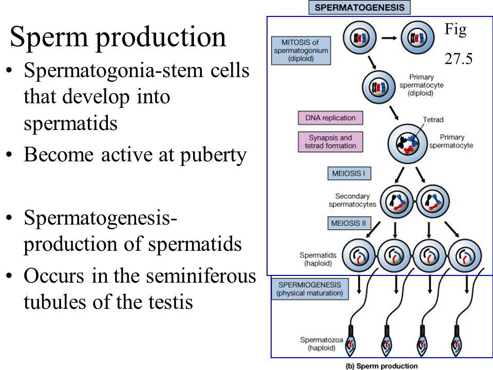 Sperm production Spermatogonia-stem cells that develop into spermatids