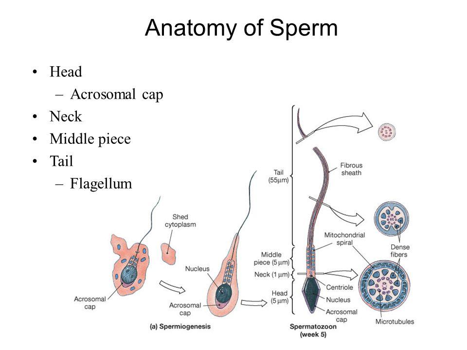 Anatomy of Sperm Head Acrosomal cap Neck Middle piece Tail Flagellum