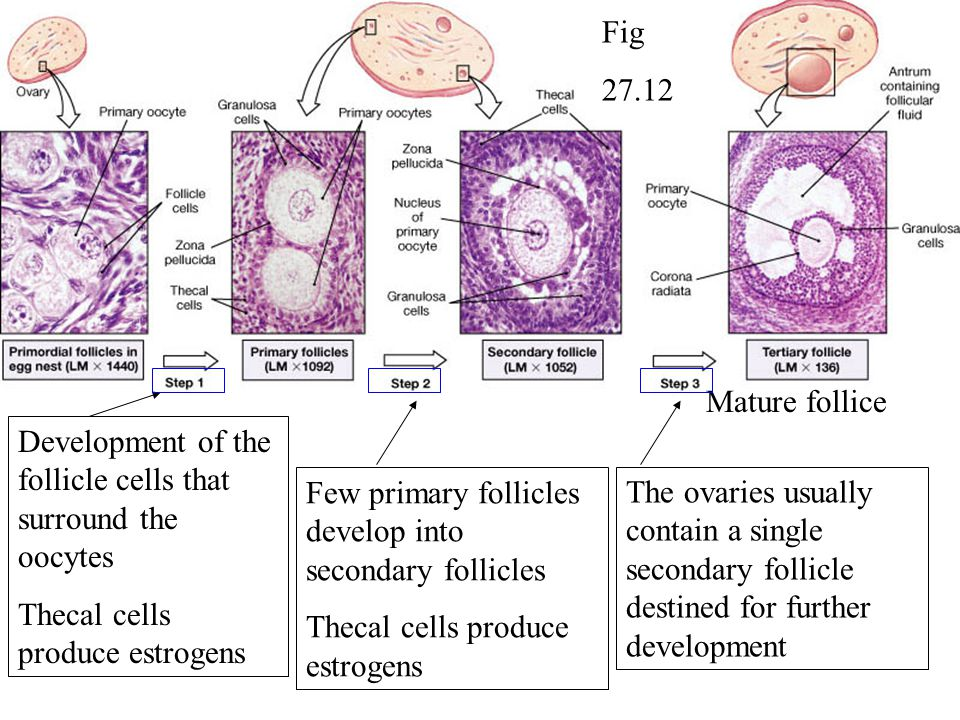 Fig 27.12. Mature follice. Development of the follicle cells that surround the oocytes. Thecal cells produce estrogens.