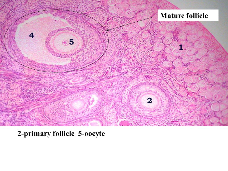 Mature follicle 2-primary follicle 5-oocyte