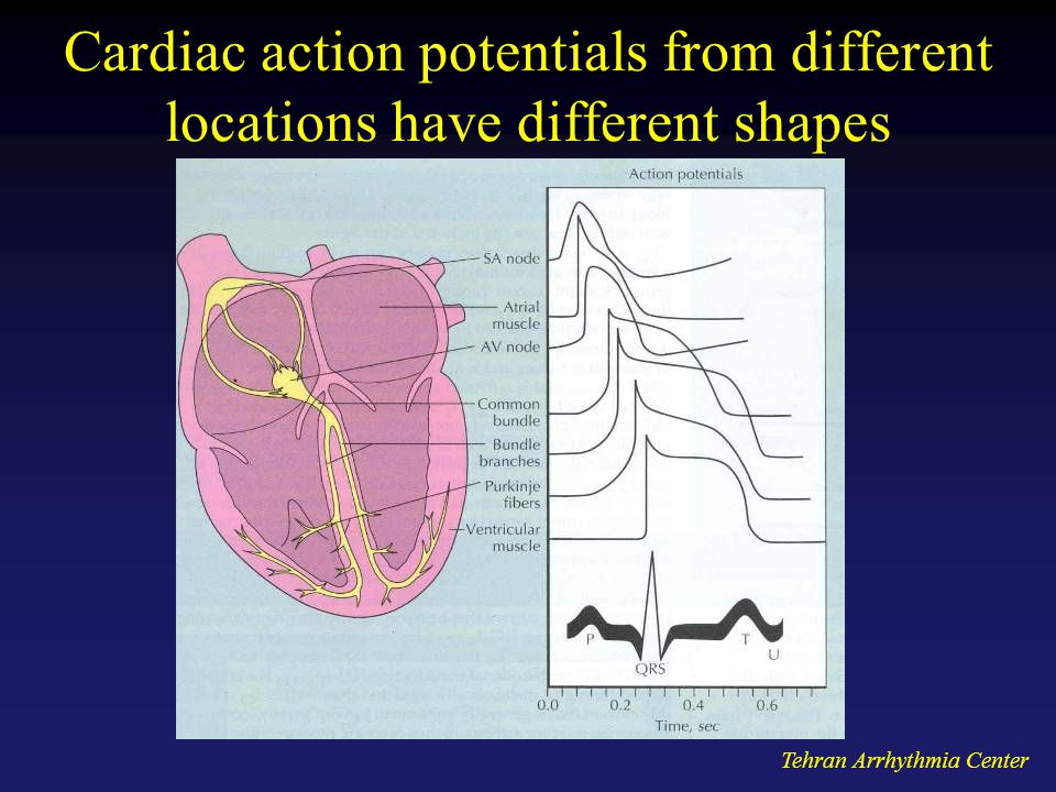 Cardiac action potentials from different locations have different shapes
