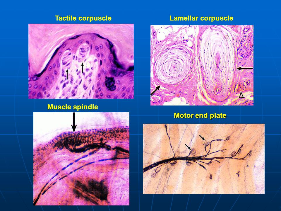 Tactile corpuscle Lamellar corpuscle Muscle spindle Motor end plate