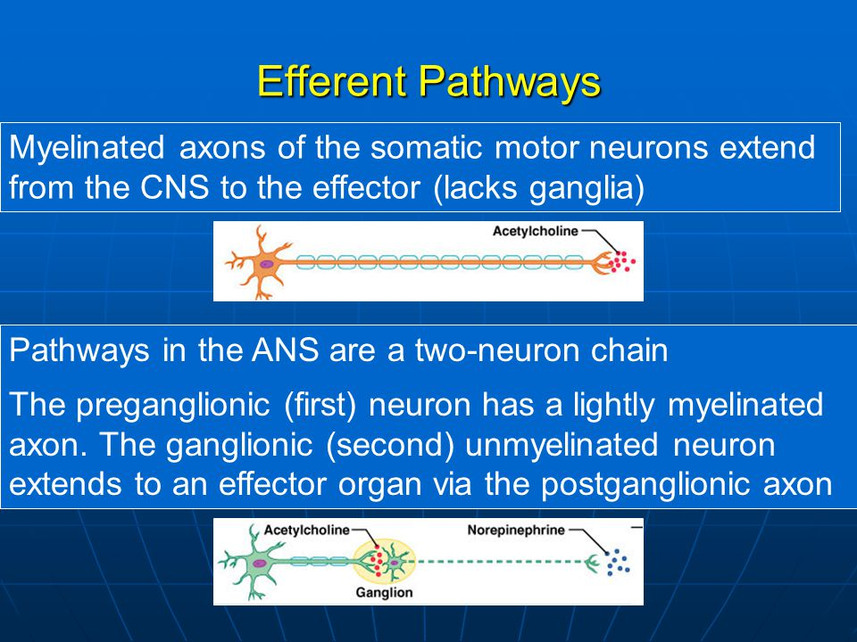 Efferent Pathways Myelinated axons of the somatic motor neurons extend from the CNS to the effector (lacks ganglia)