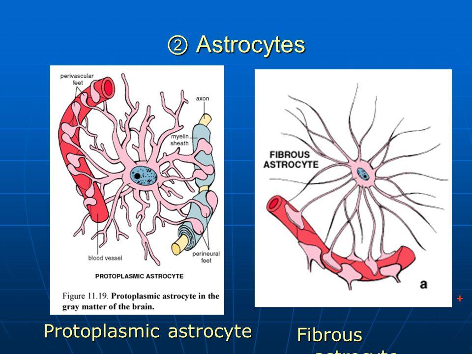 ② Astrocytes + Protoplasmic astrocyte Fibrous astrocyte