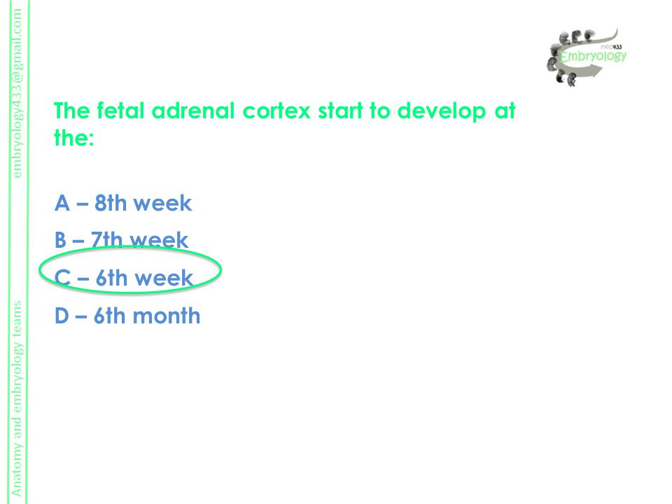 The fetal adrenal cortex start to develop at the: