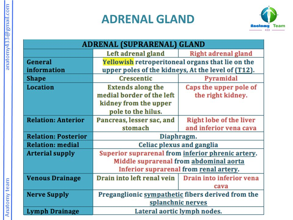 ADRENAL GLAND Anatomy team anatomy433@gmail.com.