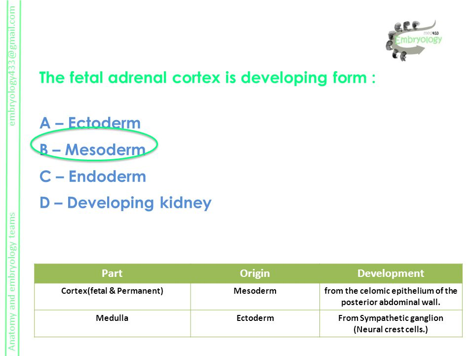 The fetal adrenal cortex is developing form : A – Ectoderm