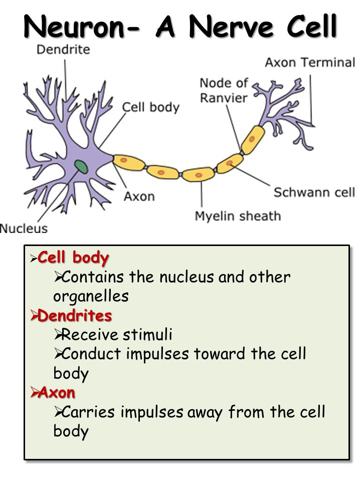 Neuron- A Nerve Cell Contains the nucleus and other organelles