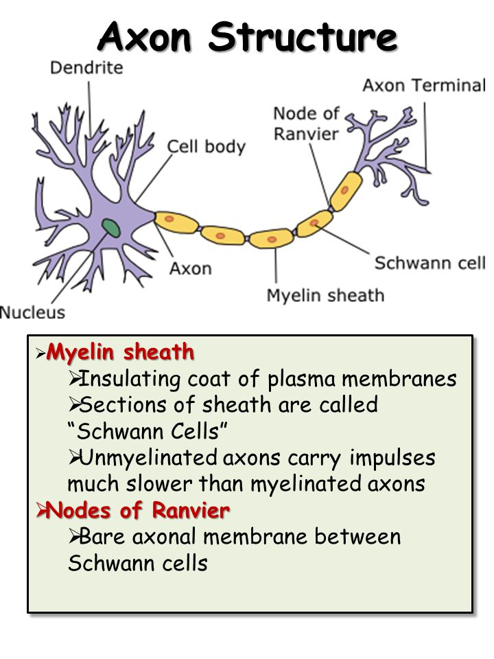 Axon Structure Insulating coat of plasma membranes