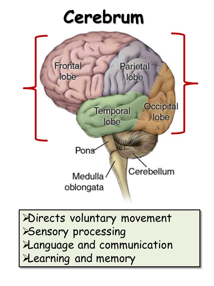 Cerebrum Directs voluntary movement Sensory processing