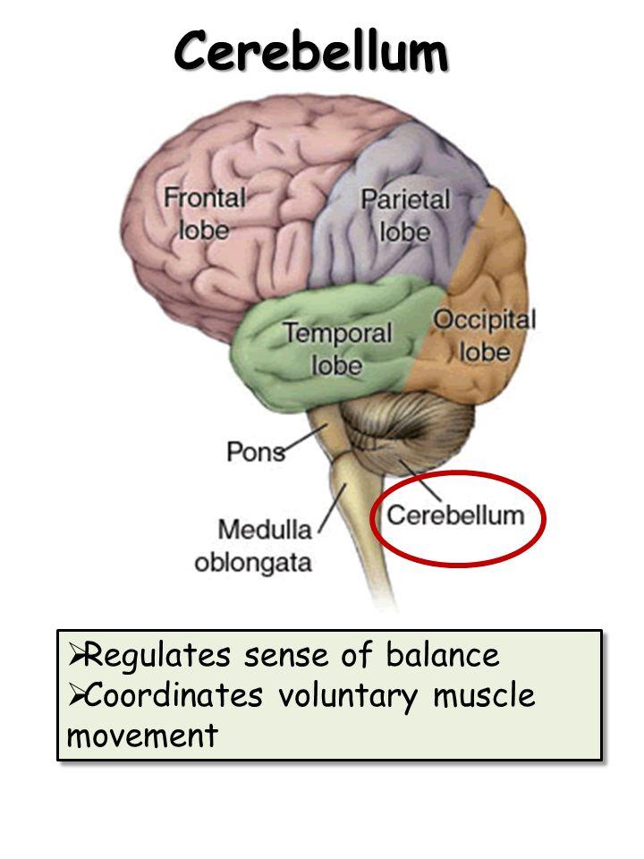 Cerebellum Regulates sense of balance
