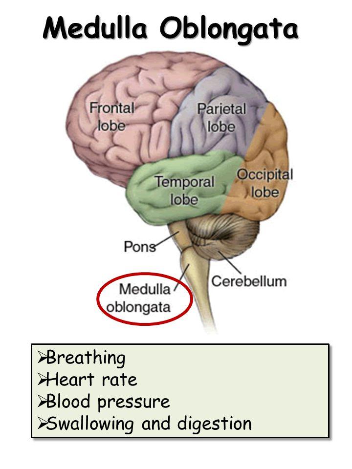 Medulla Oblongata Breathing Heart rate Blood pressure