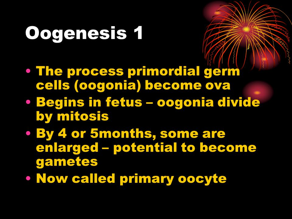 Oogenesis 1 The process primordial germ cells (oogonia) become ova