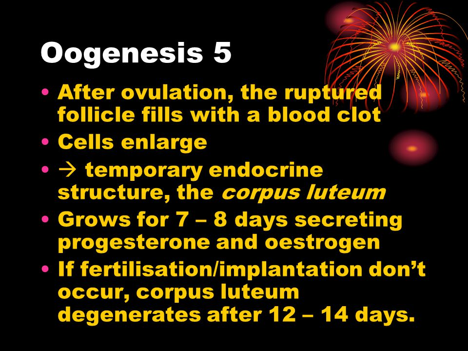 Oogenesis 5 After ovulation, the ruptured follicle fills with a blood clot. Cells enlarge.  temporary endocrine structure, the corpus luteum.