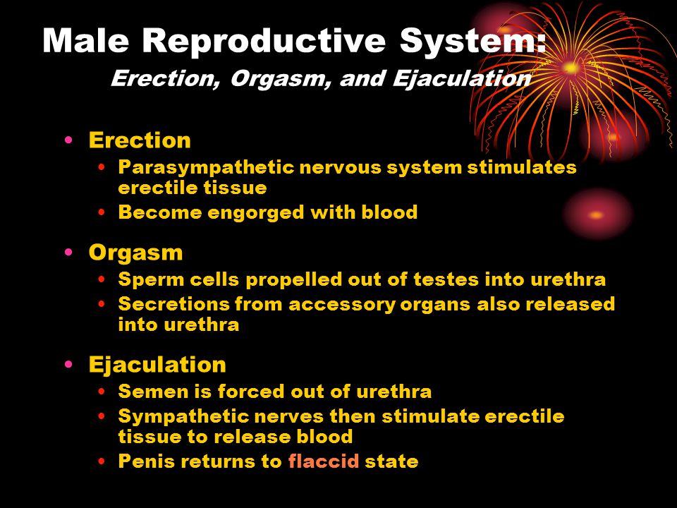 Male Reproductive System: Erection, Orgasm, and Ejaculation