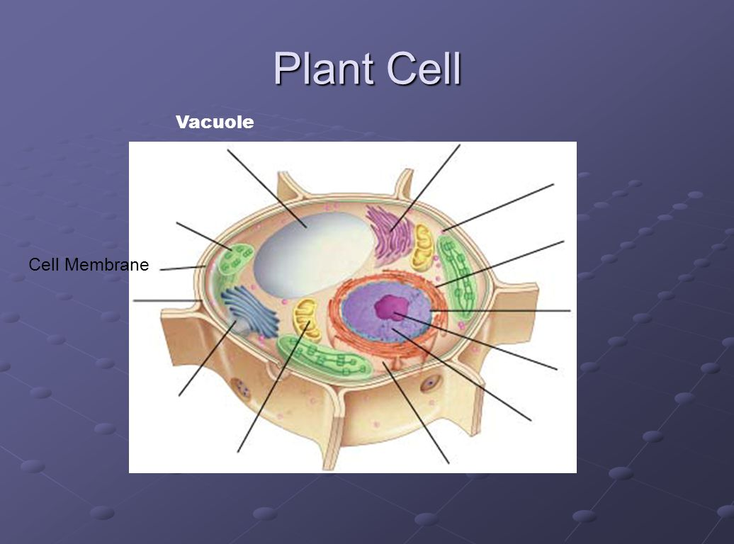 Plant Cell Vacuole Cell Membrane