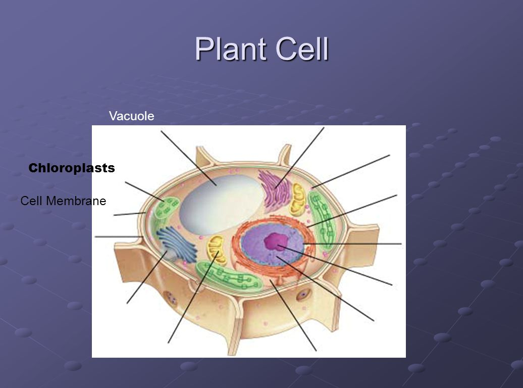 Plant Cell Vacuole Chloroplasts Cell Membrane