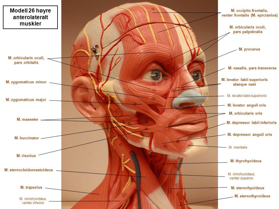 Modell 26 høyre anterolateralt muskler