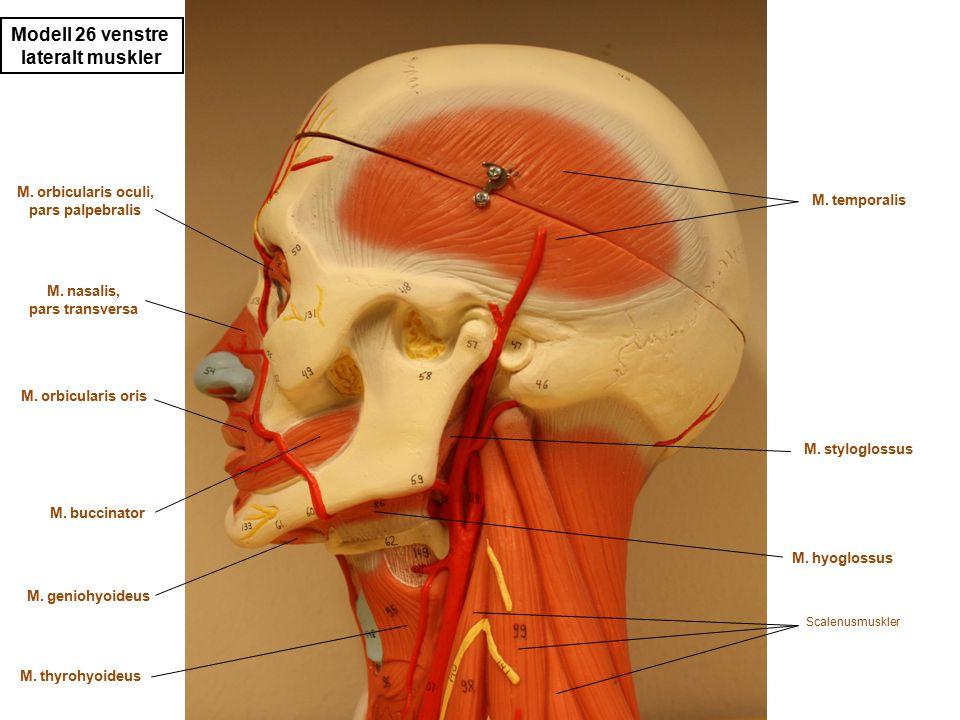 Modell 26 venstre lateralt muskler